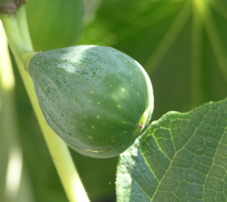 The figs on our backyard tree look ready to go.